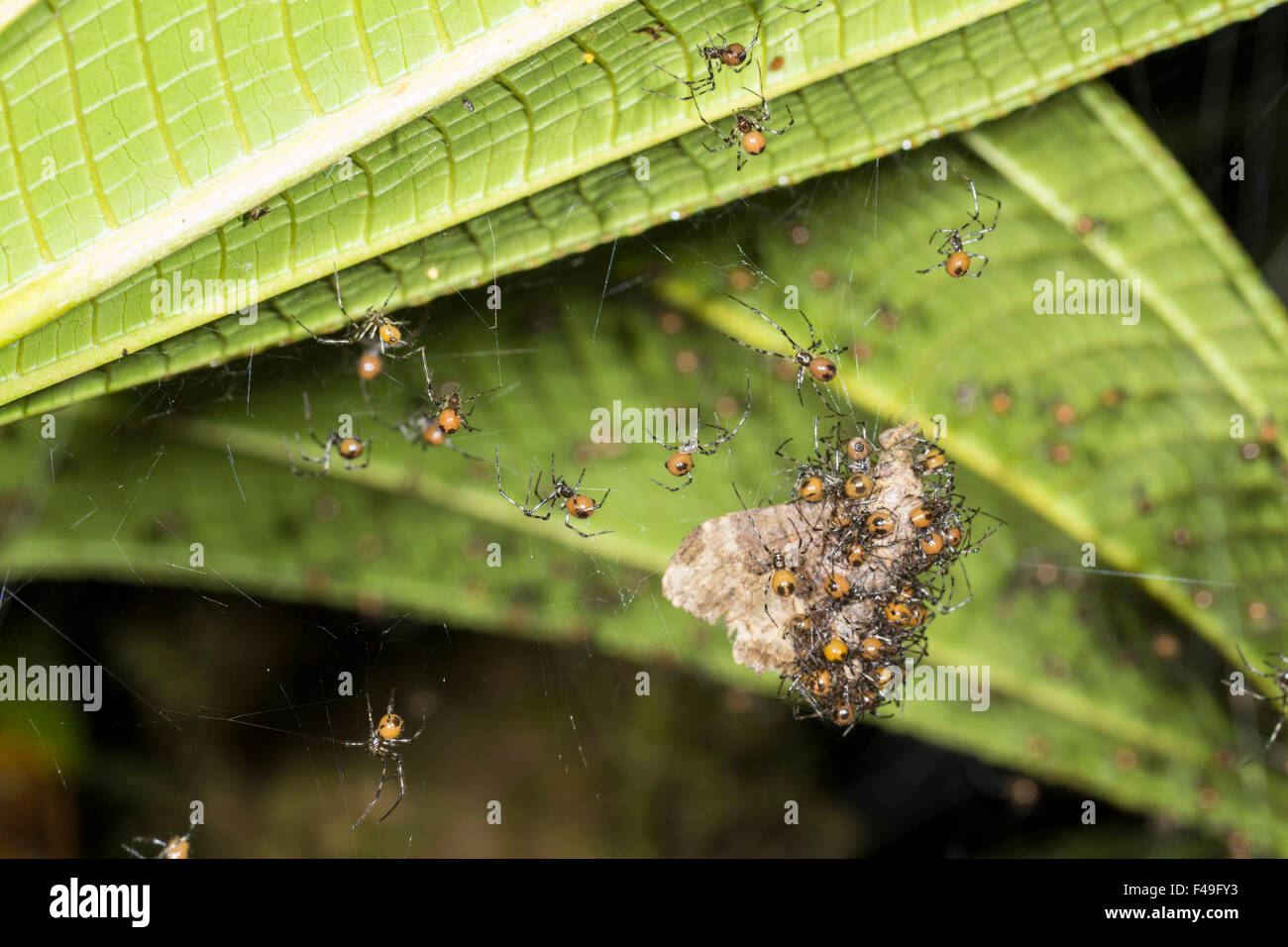 Social spiders (Theridion nigroannulatum) sharing a moth trapped in their web in the rainforest, Ecuador - Stock Image