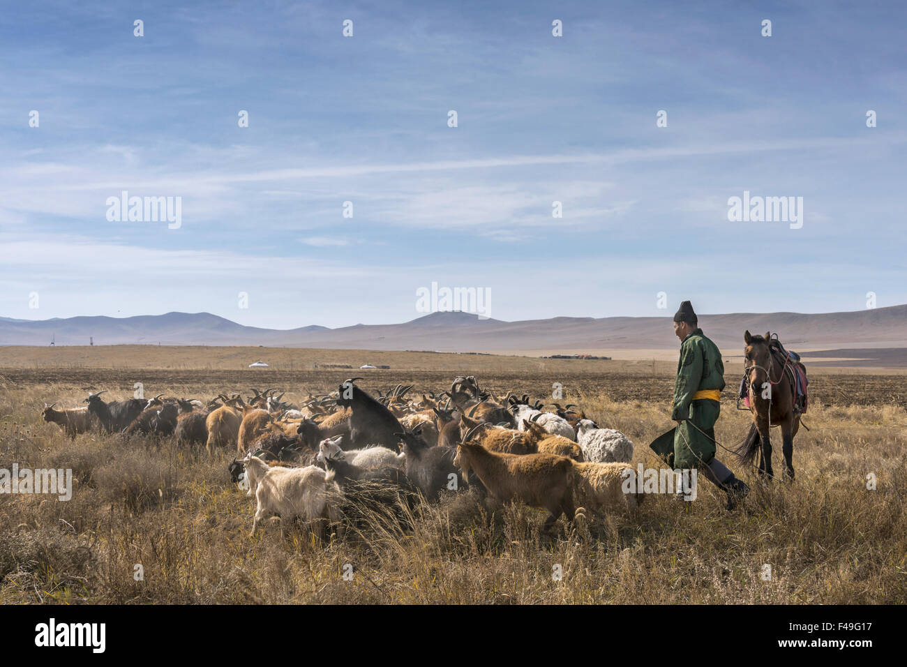 Mongolian herder and his horse driving cashmere goats, near Hustai National Park, Mongolia - Stock Image