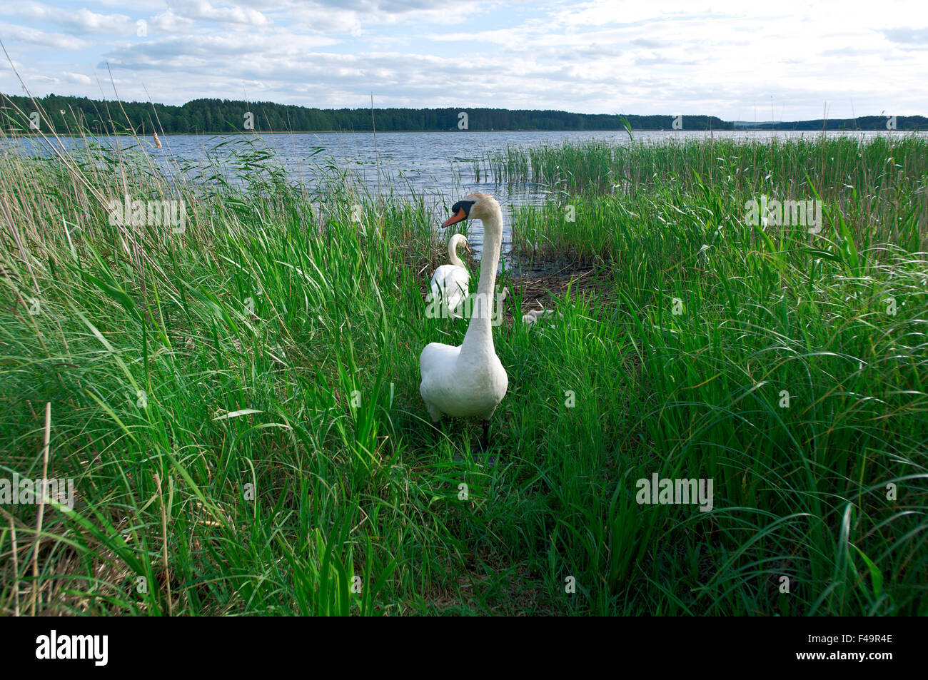 dissatisfied swan - Stock Image