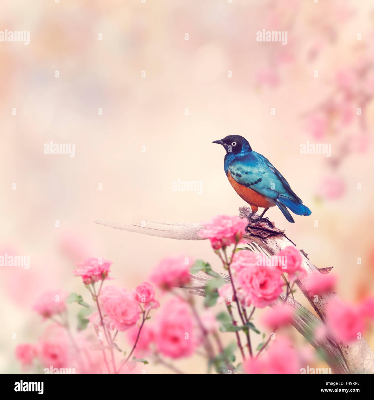 Superb Starling Perches in the Rose Garden - Stock Image