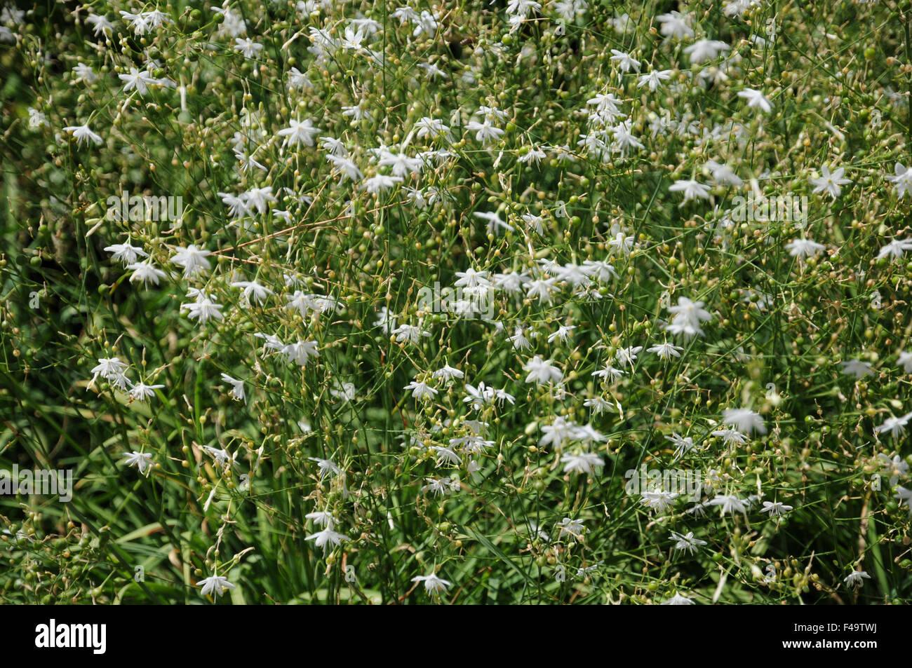 Spider plant Stock Photo