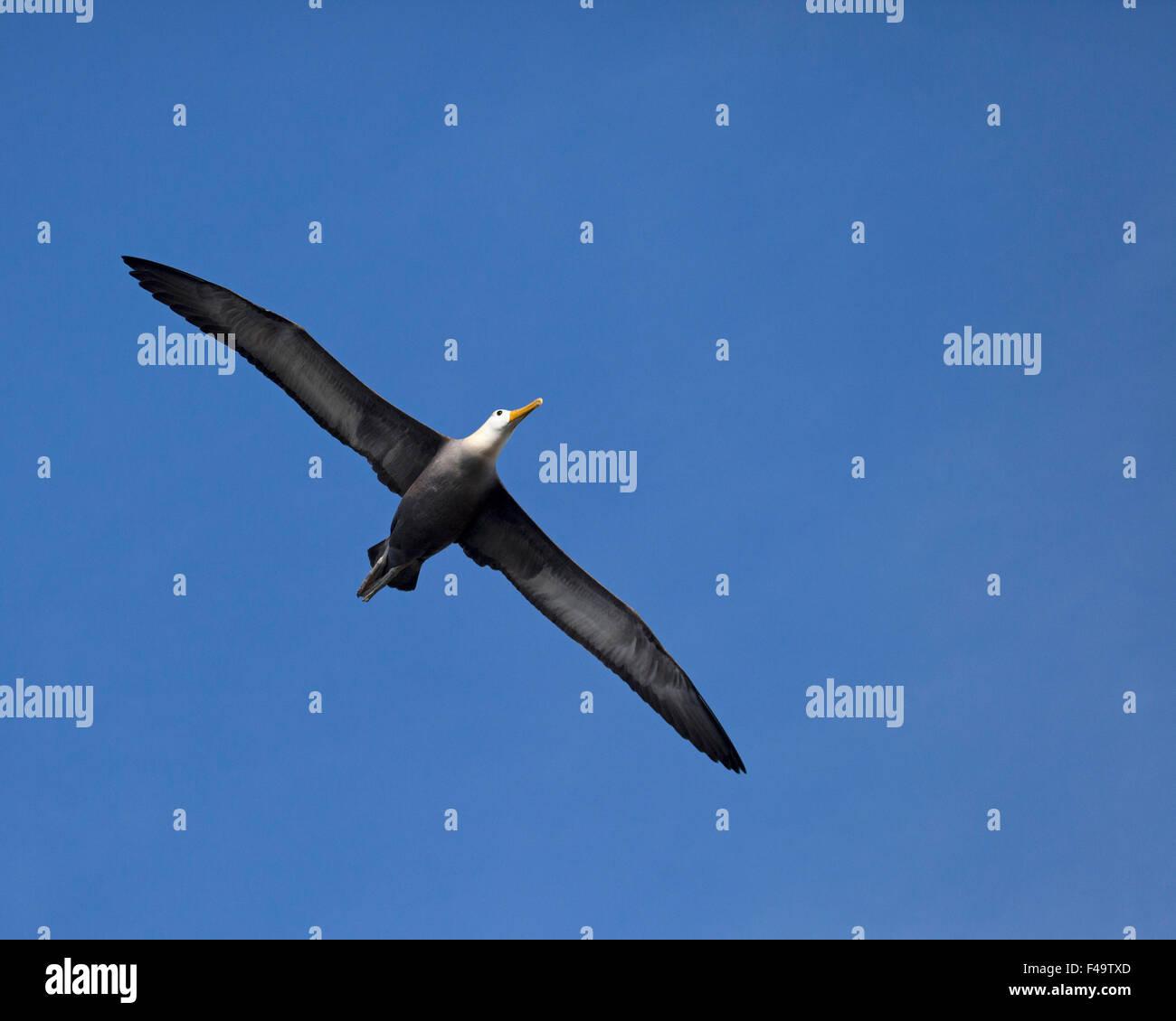Waved Albatross (Phoebastria irrorata) soaring - Stock Image