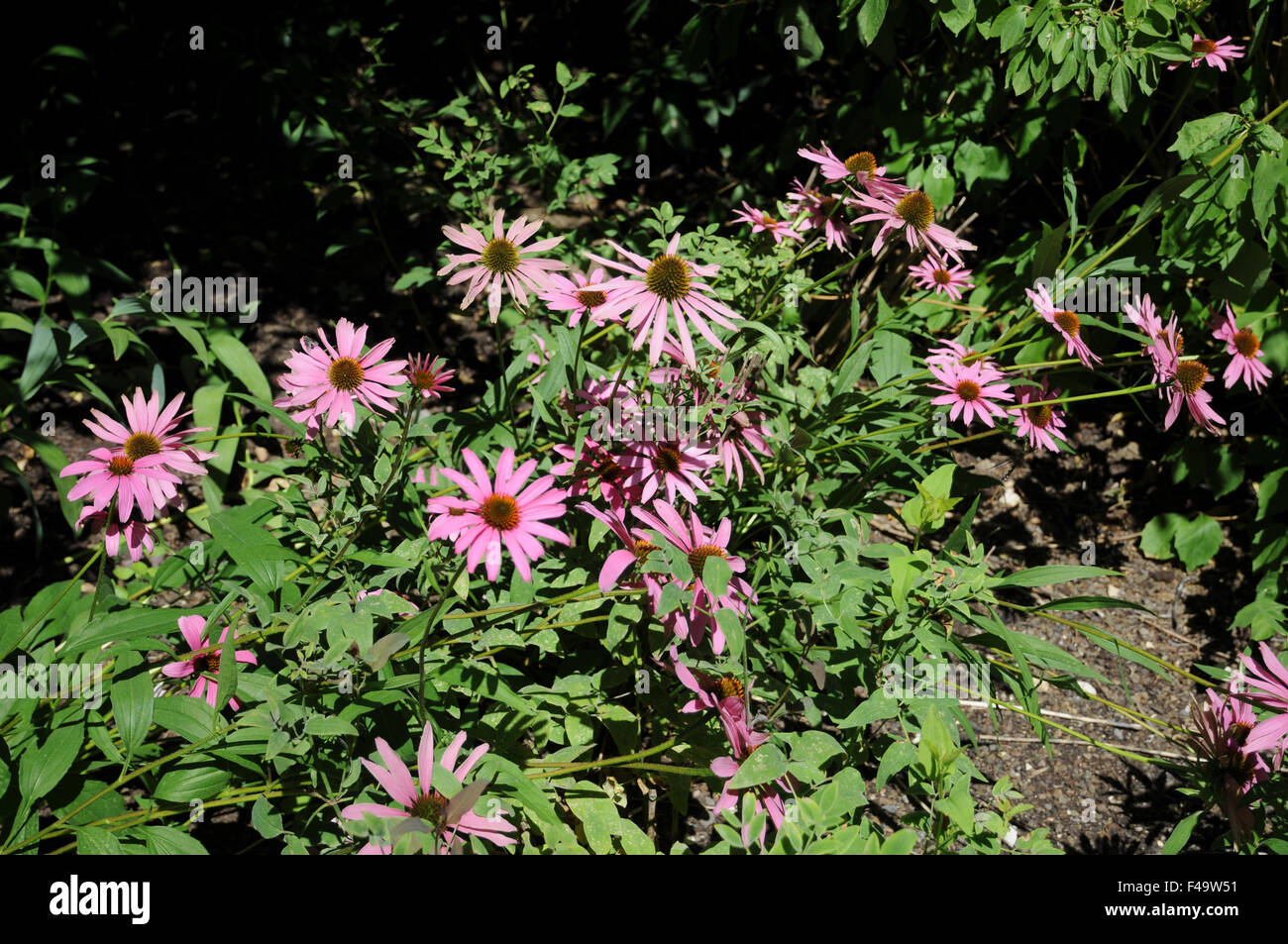Tennessee coneflower - Stock Image