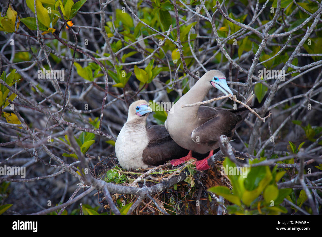 Red-footed Booby (Sula sula) pair building nest in mangrove tree, brown morph - Stock Image