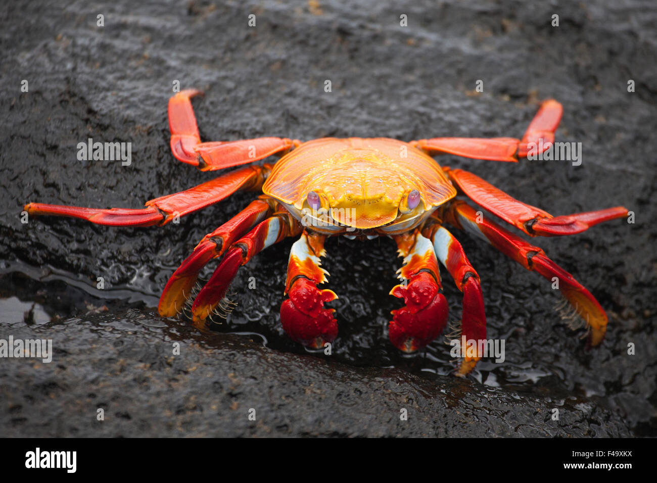 Sally Lightfoot Crab (Grapsus grapsus) on lava rock in Galapagos National Park - Stock Image