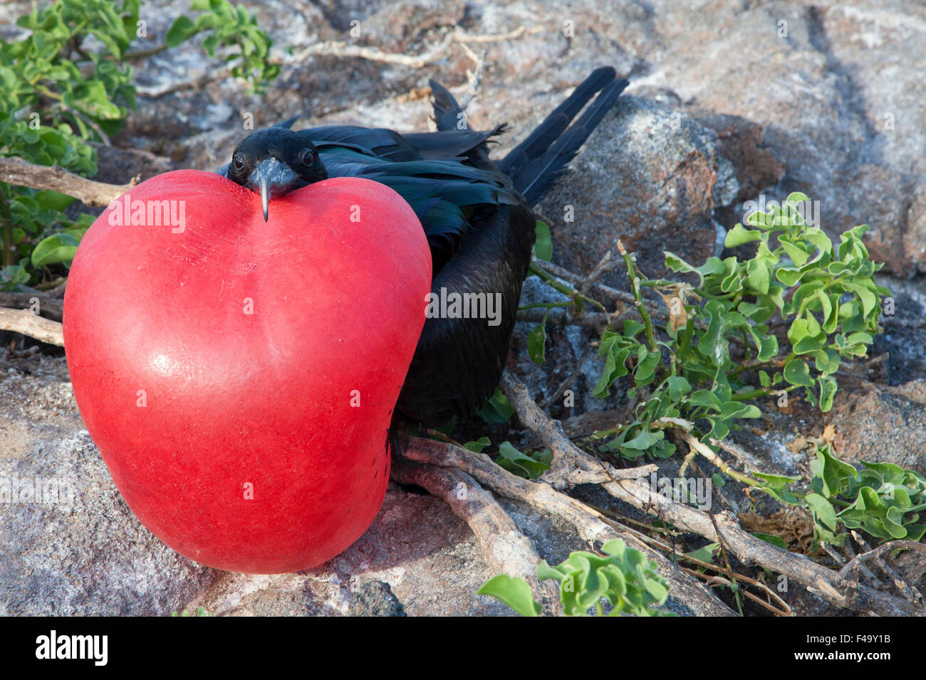 Great Frigatebird (Fregata minor) male  at nesting colony displaying fully inflated red gular pouch during courtship - Stock Image