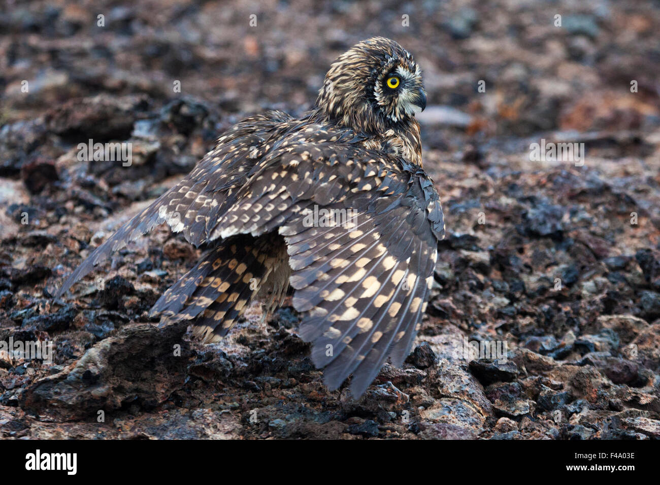 Short-eared owl (Asio flammeus galapagoensis) mantling, camouflaged against lava rock - Stock Image