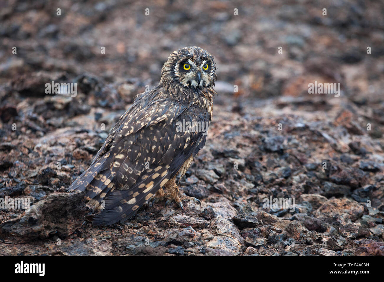 Short-eared owl (Asio flammeus galapagoensis) camouflaged against lava rock - Stock Image