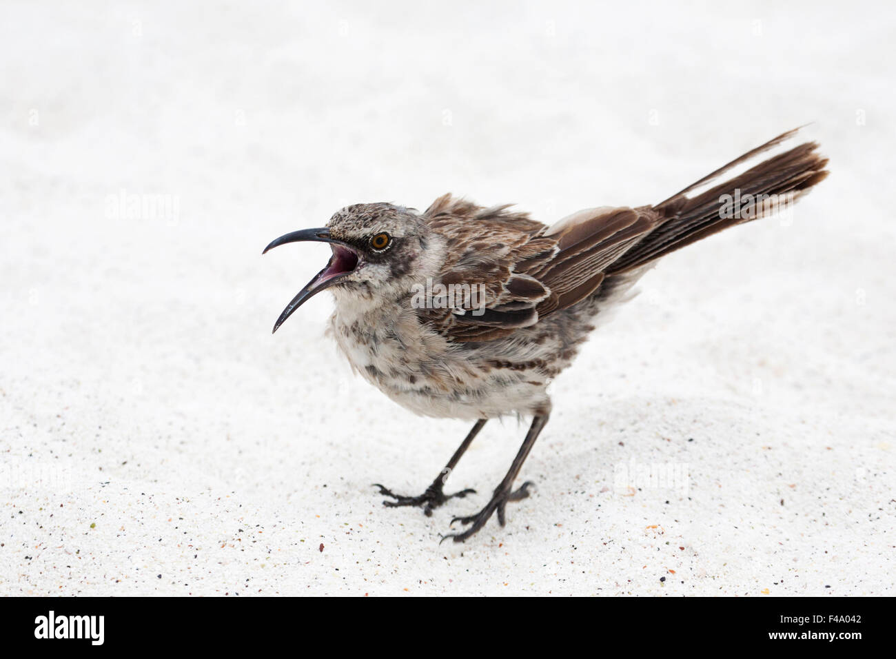 Espanola (Hood) Mockingbird (Mimus macdonaldi) Stock Photo