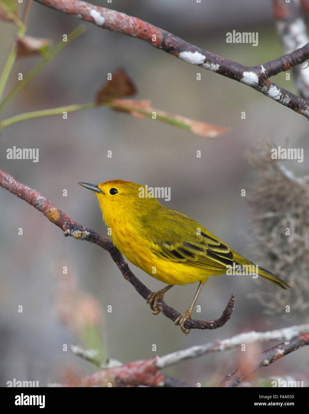 Yellow Warbler male (Dendroica petechia) - Stock Image