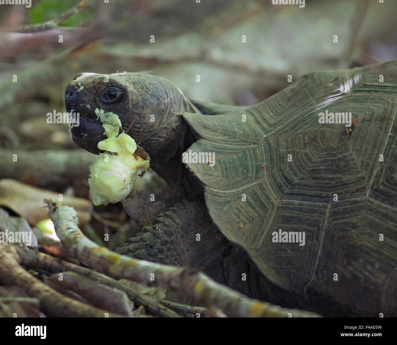 Galapagos Giant Tortoise (Chelonoidis nigra) eating poison apple (Hippomane mancinella). The fruit and tree are - Stock Image