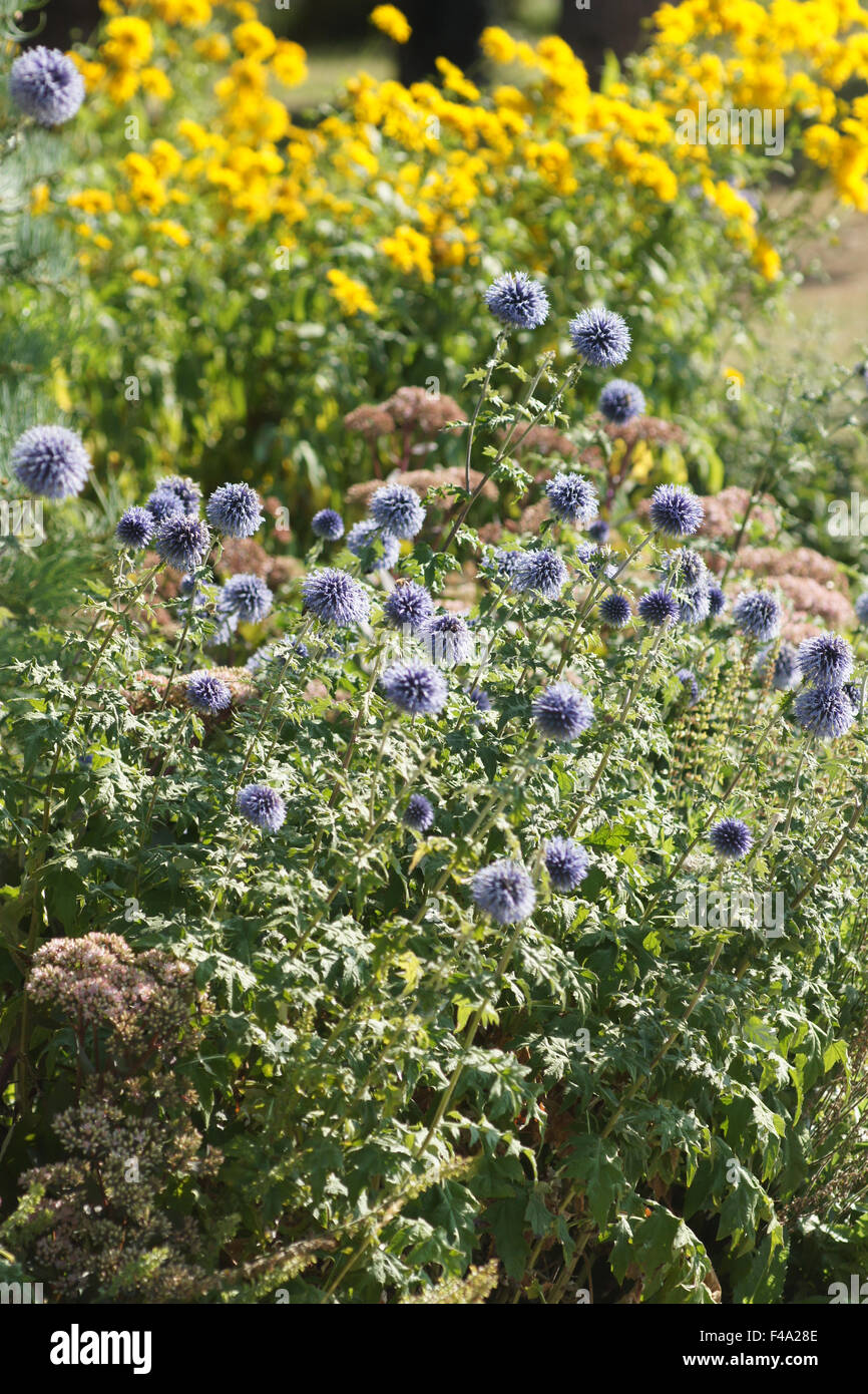 Globe thistle - Stock Image