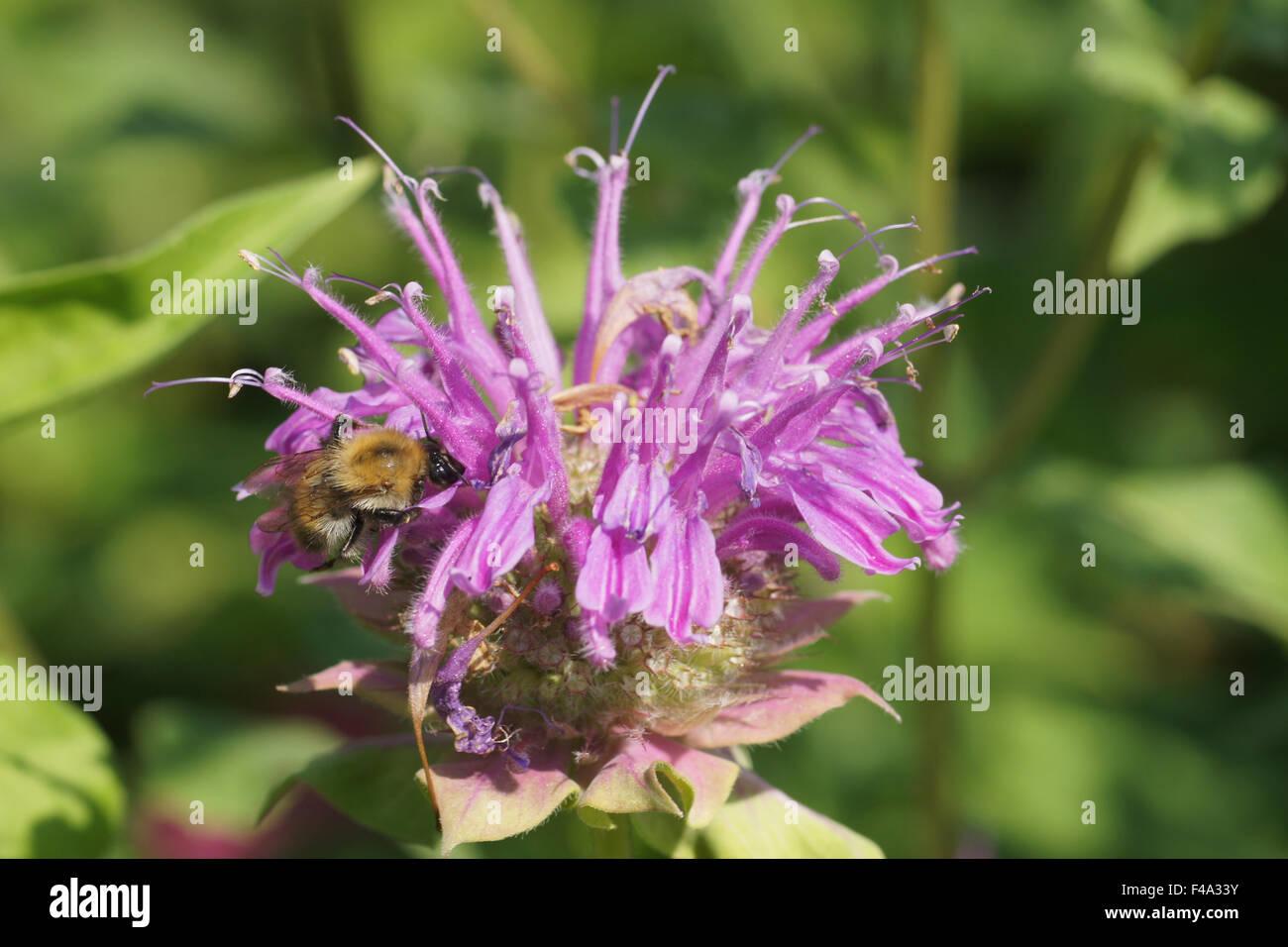 Bee balm - Stock Image