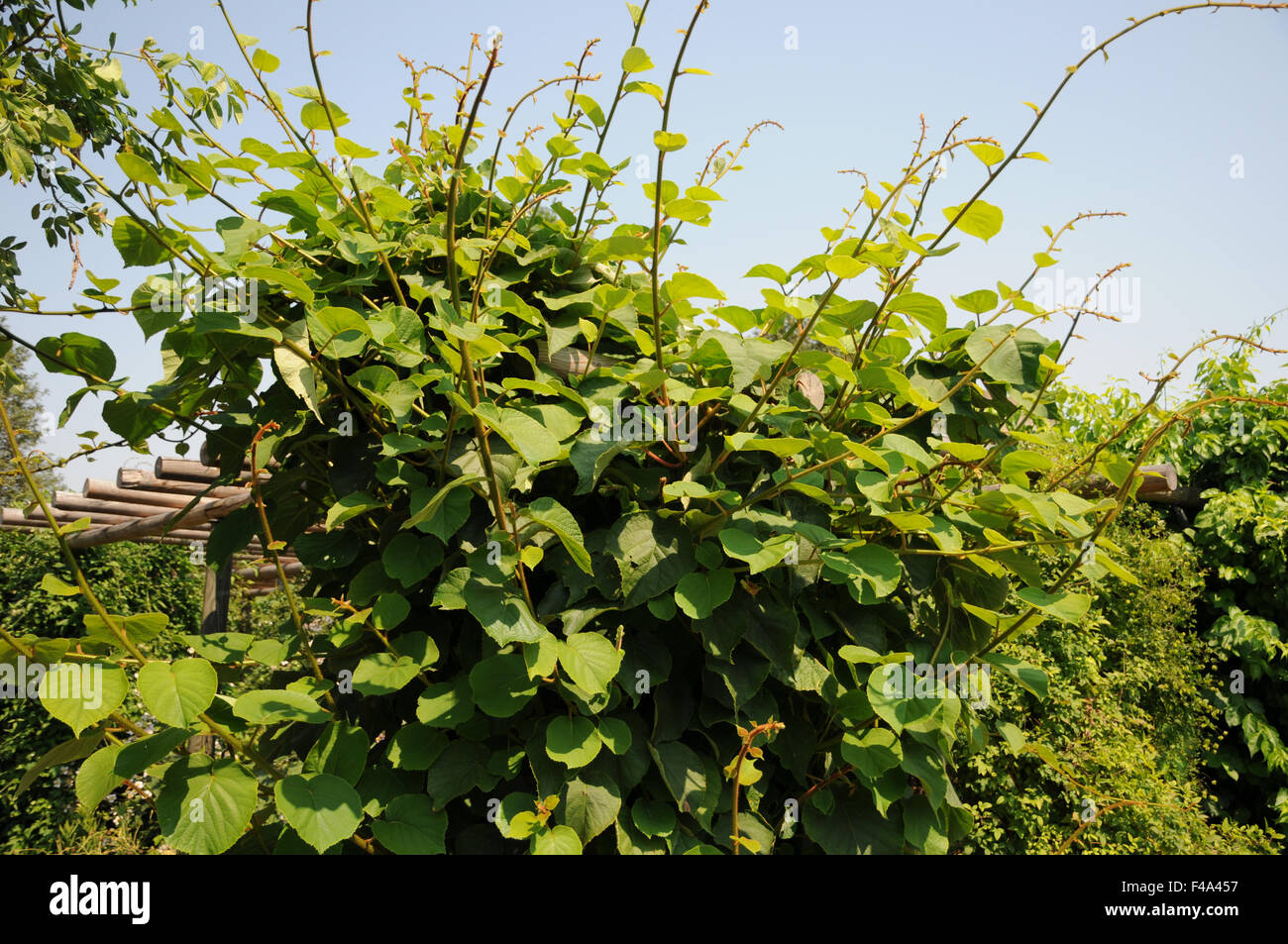 Kiwi plant - Stock Image