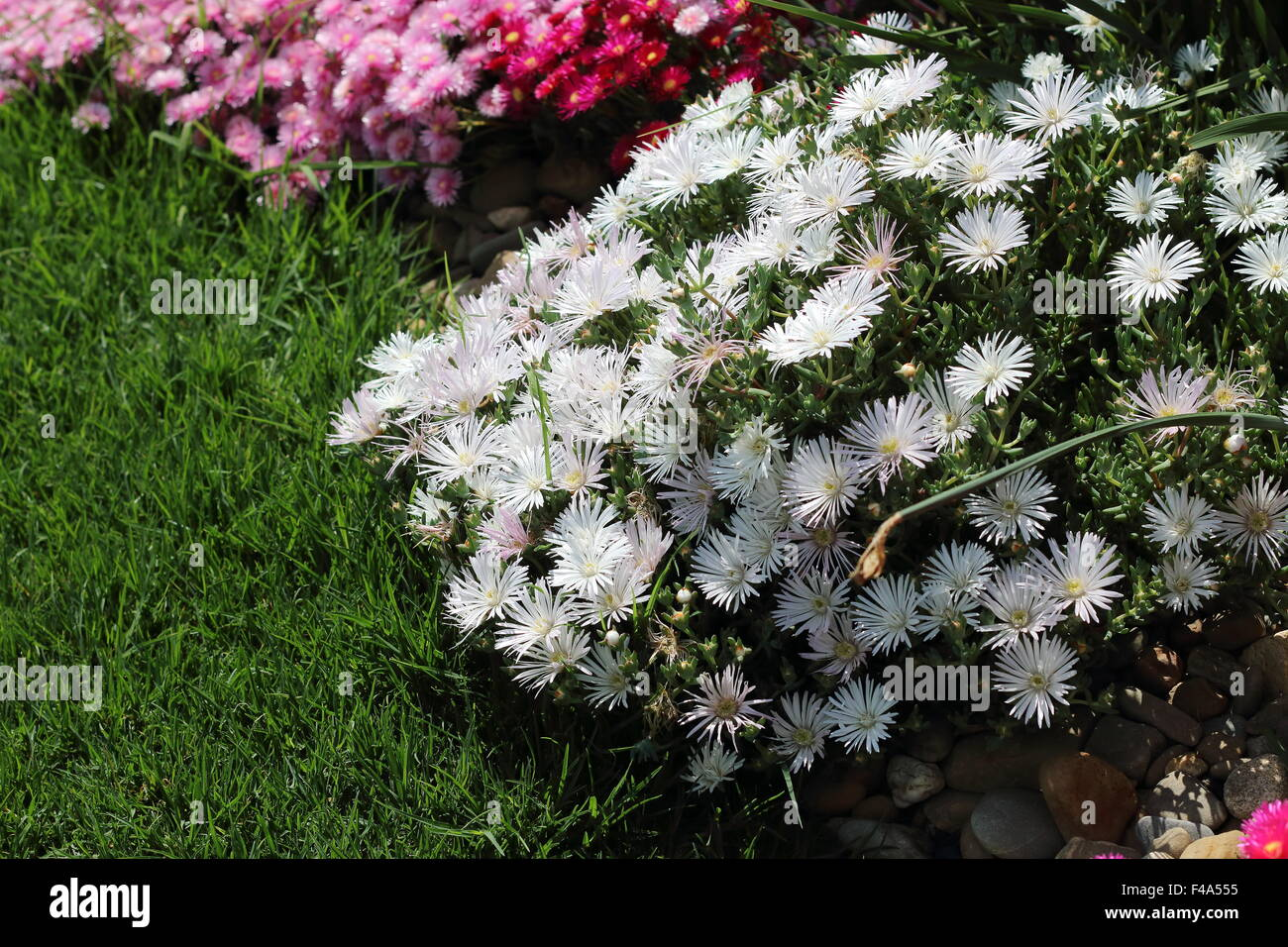 Daisy Pink White Ground Cover Stock Photos Daisy Pink White Ground