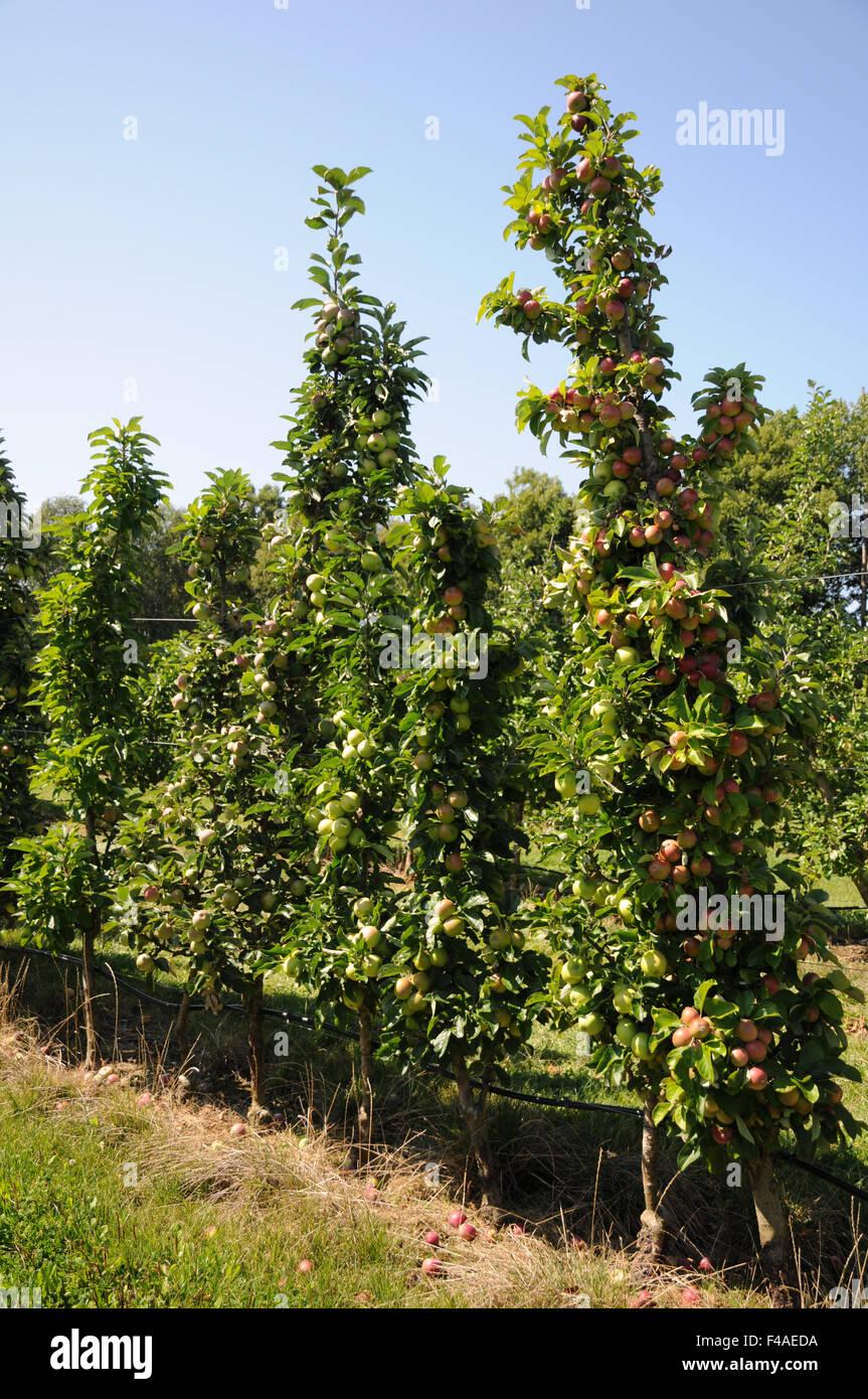 columnar apple tree stock photo 88741334 alamy. Black Bedroom Furniture Sets. Home Design Ideas