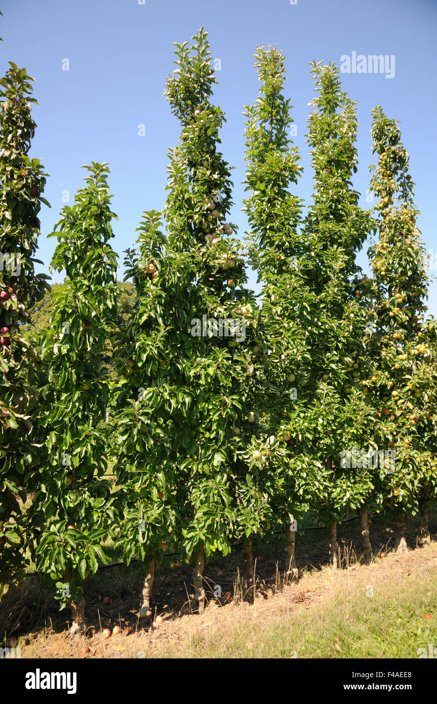 Columnar apple tree - Stock Image