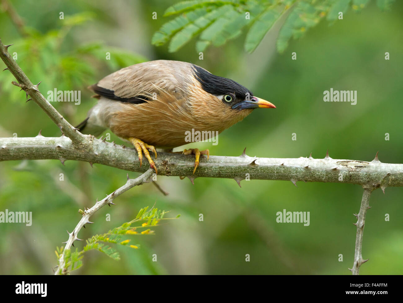 The brahminy myna or brahminy starling (Sturnia pagodarum) is a member of the starling family of birds. Stock Photo