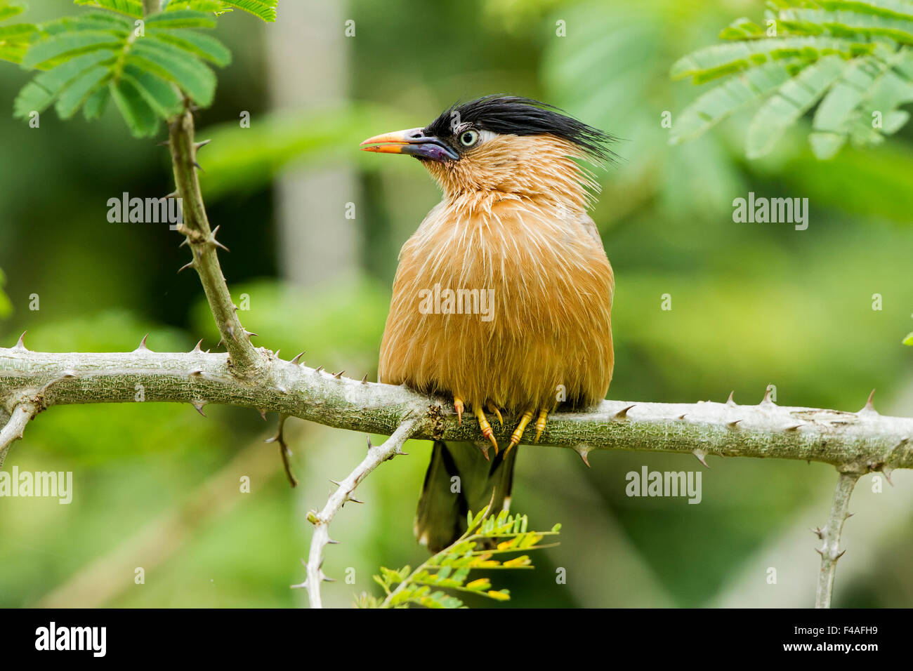 The brahminy myna or brahminy starling (Sturnia pagodarum) is a member of the starling family of birds - Stock Image