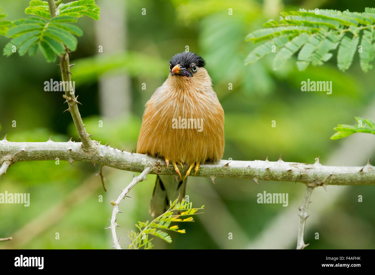 The brahminy myna or brahminy starling (Sturnia pagodarum) is a member of the starling family of birds. - Stock Image