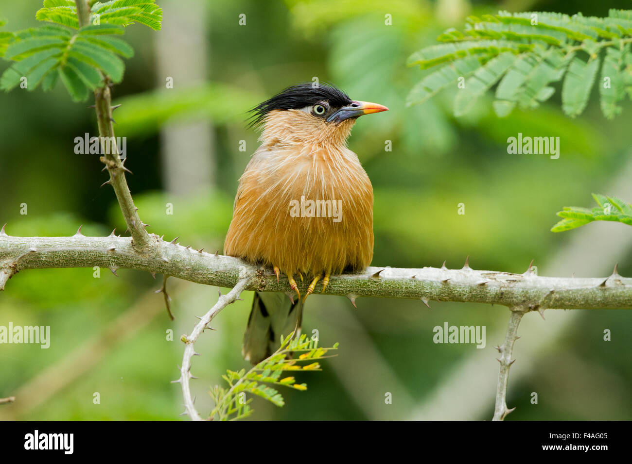 The brahminy myna or brahminy starling (Sturnia pagodarum[2]) is a member of the starling family of birds. - Stock Image