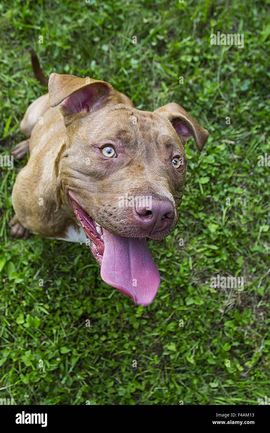 Cute pitbull - Stock Image