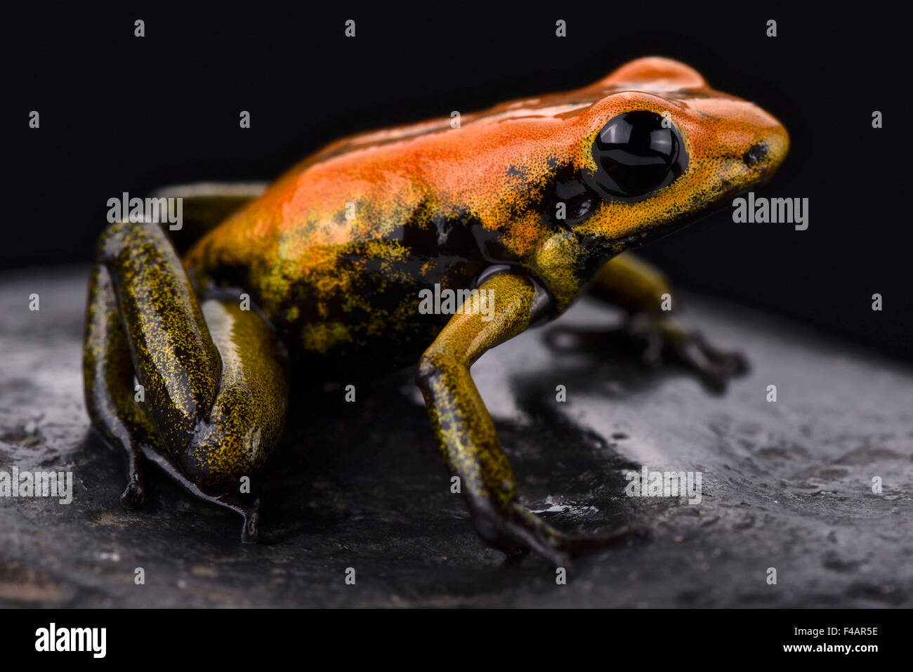 Bicolored dart frog (Phyllobates bicolor) Stock Photo