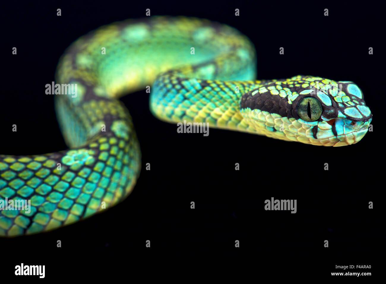 Sri Lankan pit viper (Trimeresurus trigonecephalus) - Stock Image