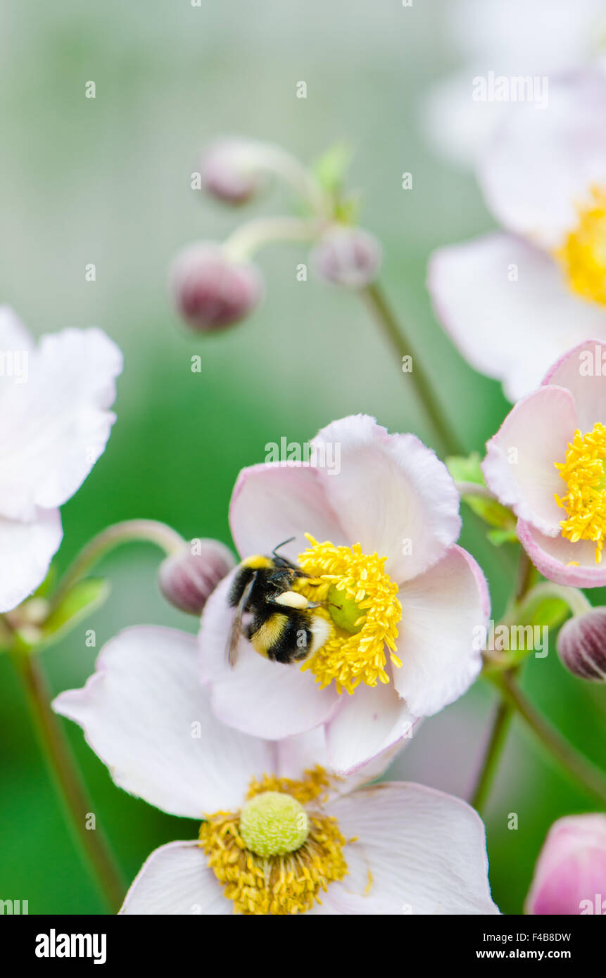 a bee collects pollen from flower, close-upStock Photo