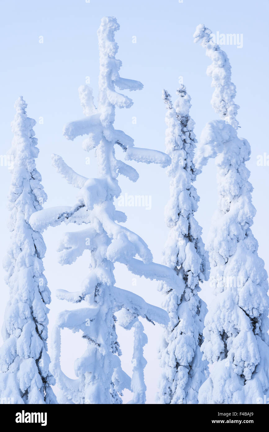 snow covered spruces, Lapland, Sweden - Stock Image