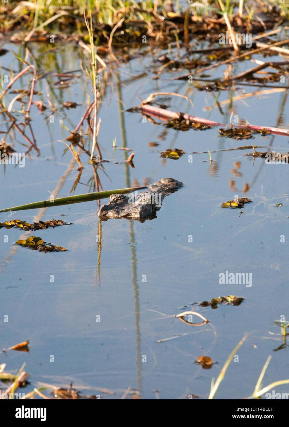 Crocodile in water, Botswana, Africa Stock Photo