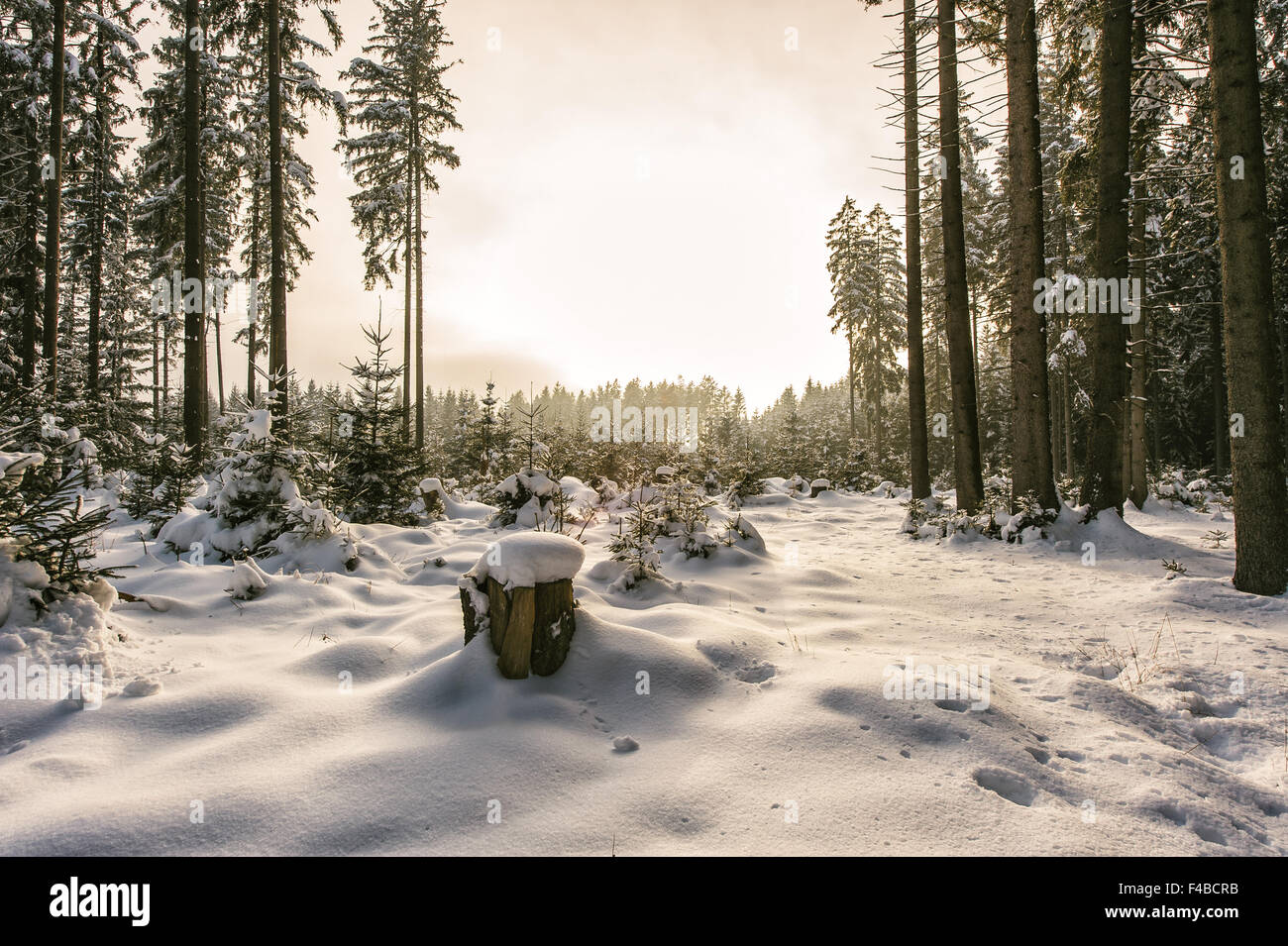 Snowy conifer tree forest - Stock Image