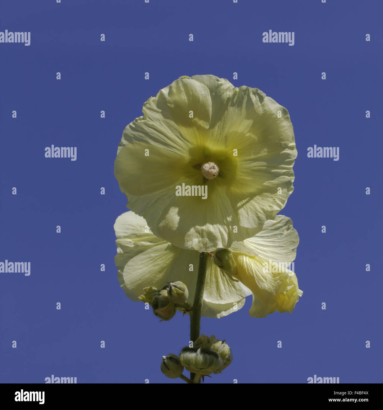 Althaea ficifolia (Alcea rosea), Marsh Mallow Stock Photo