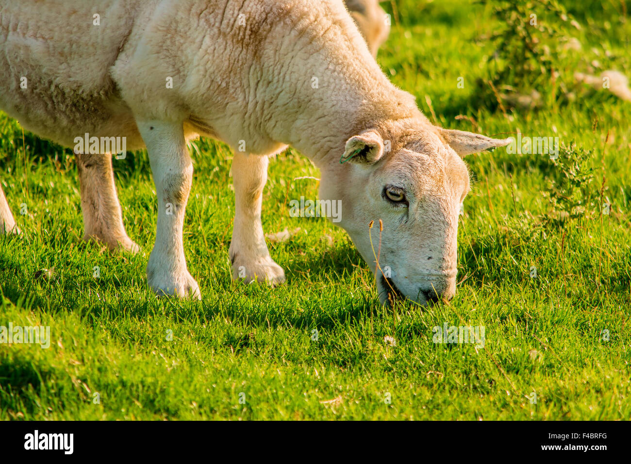 September 2015, sheep in on a meadow in Scotland - Stock Image
