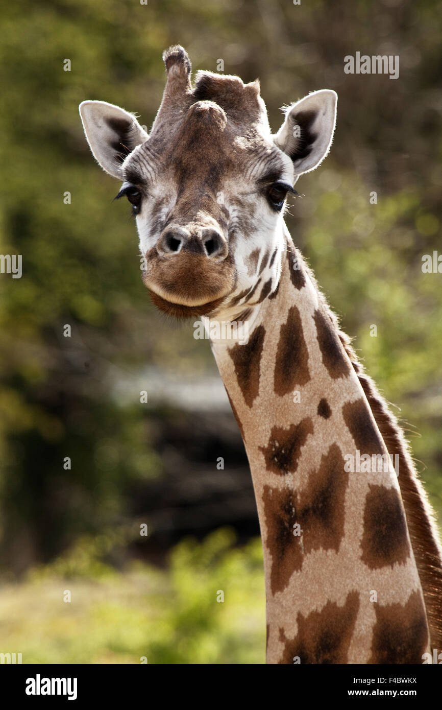 Giraffe, Zoo Zoom, Gelsenkirchen, Germany - Stock Image