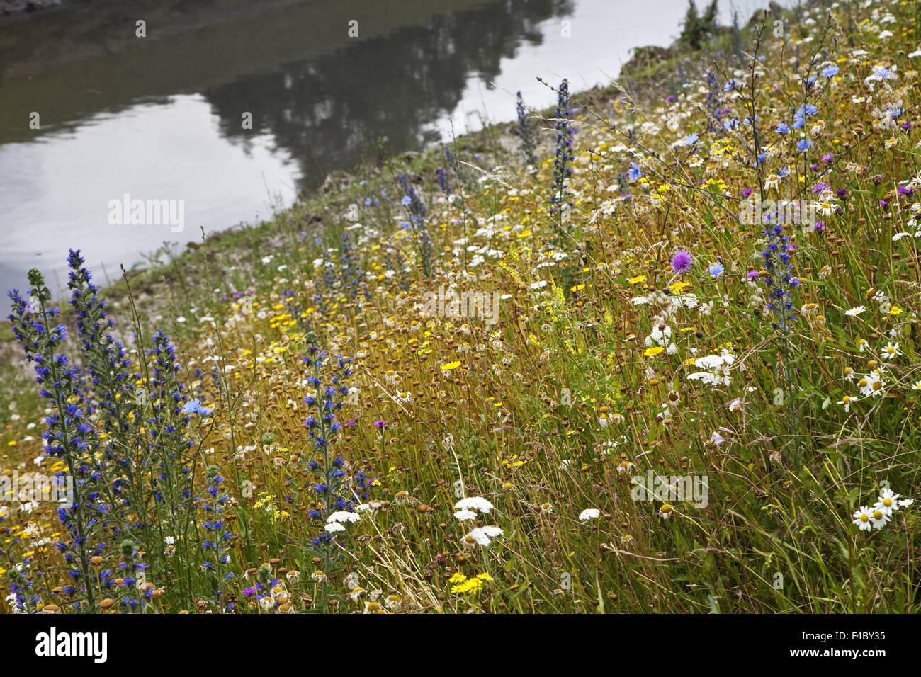 Wild flowers at the Emscher, Essen, Germany Stock Photo