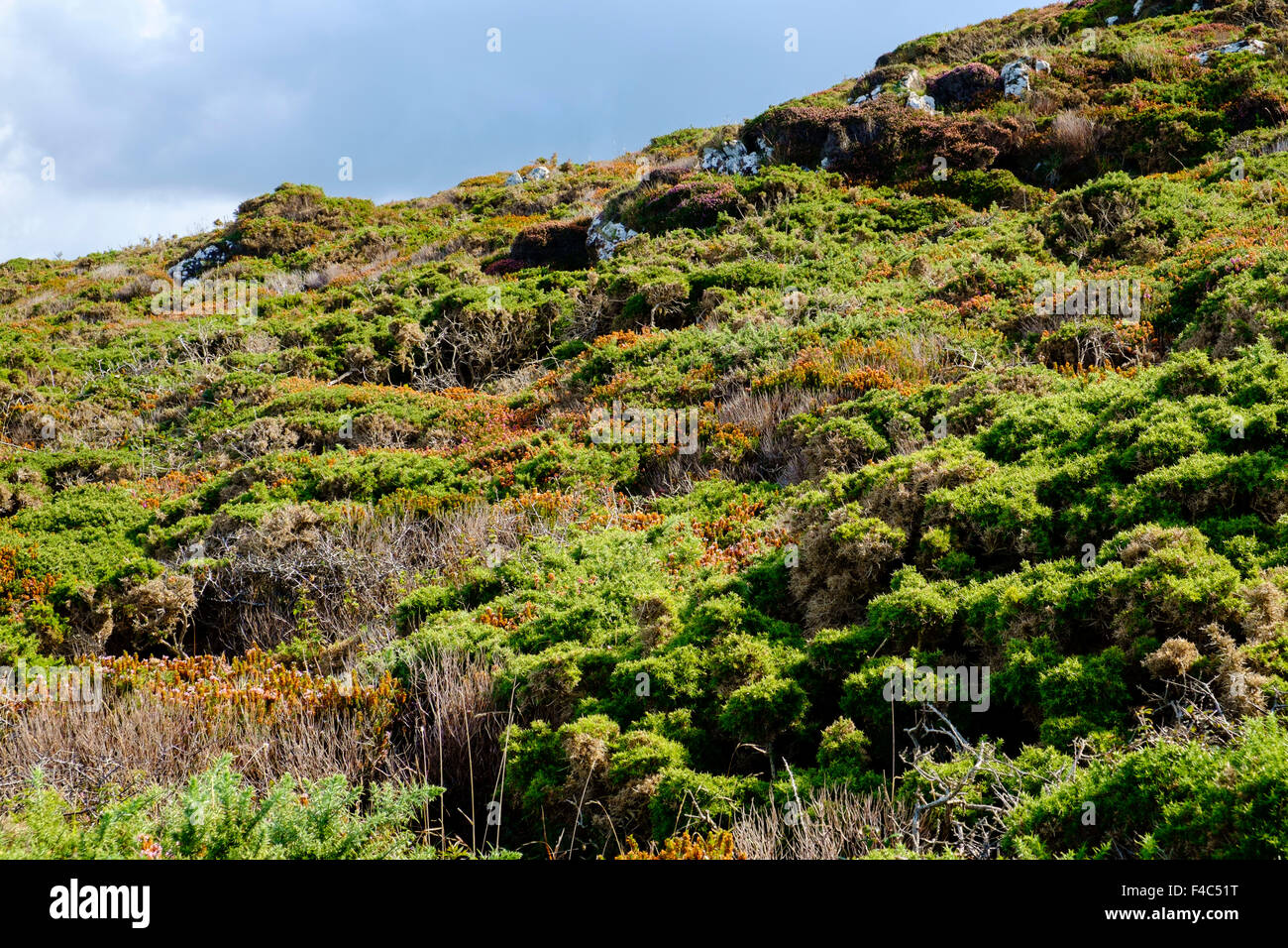 Heather and gorse bushes by the coast in early autumn / late summer, Cornwall, England, UK - Stock Image