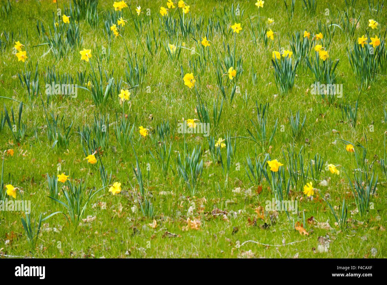 Yellow daffodils in the Mount Lofty Botanical garden. - Stock Image