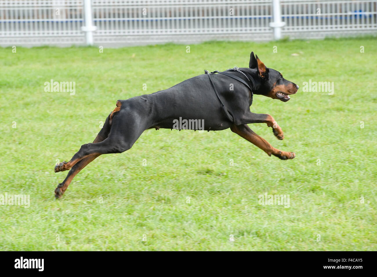 dobermann running/ playing - Stock Image