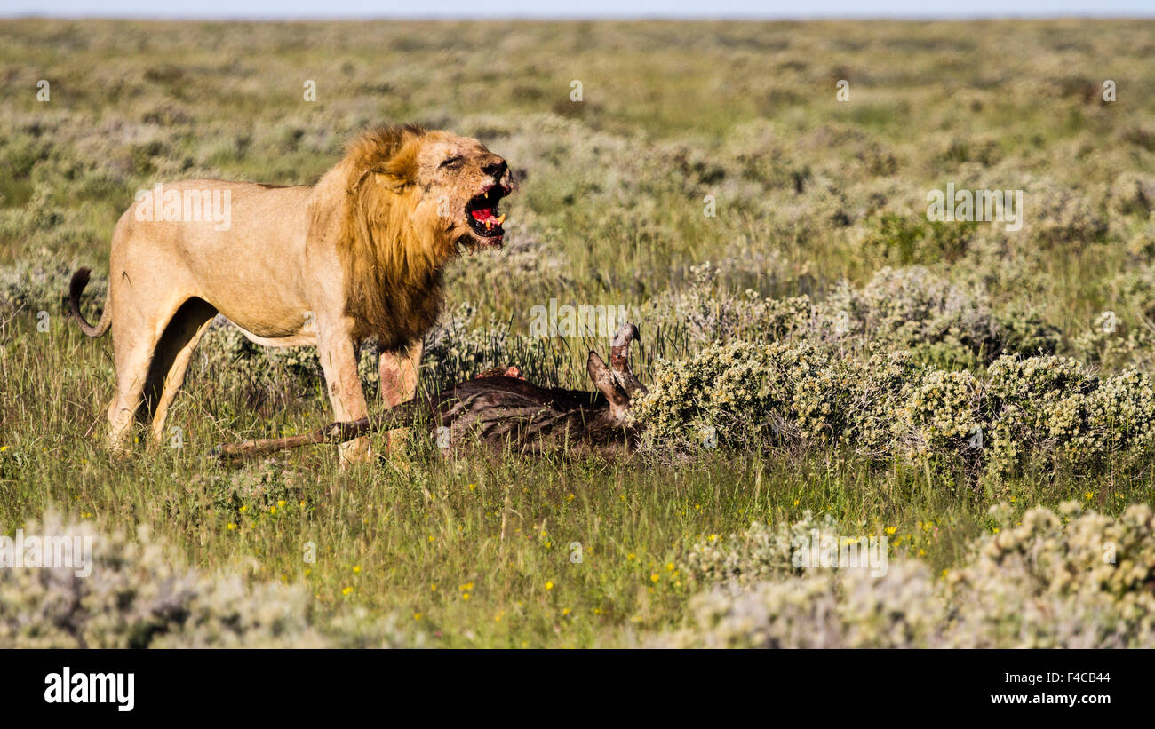 Africa, Namibia, Etosha National Park. Male lion roars over carcass of wildebeest. Credit as: Bill Young / Jaynes - Stock Image