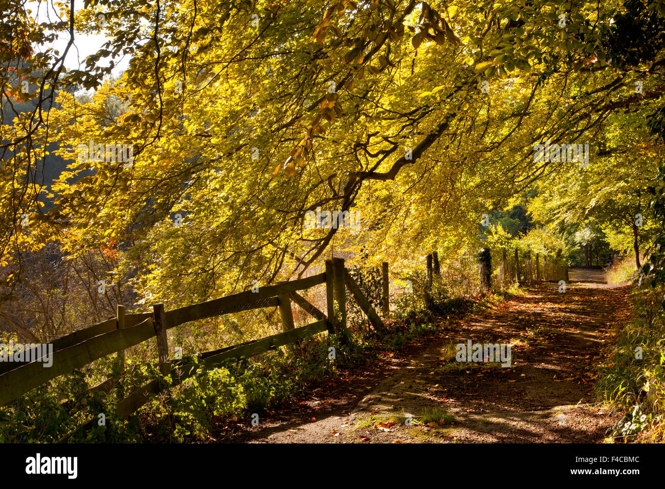 Wooded Autumn Beech tree lane in Oxfordshire,England - Stock Image