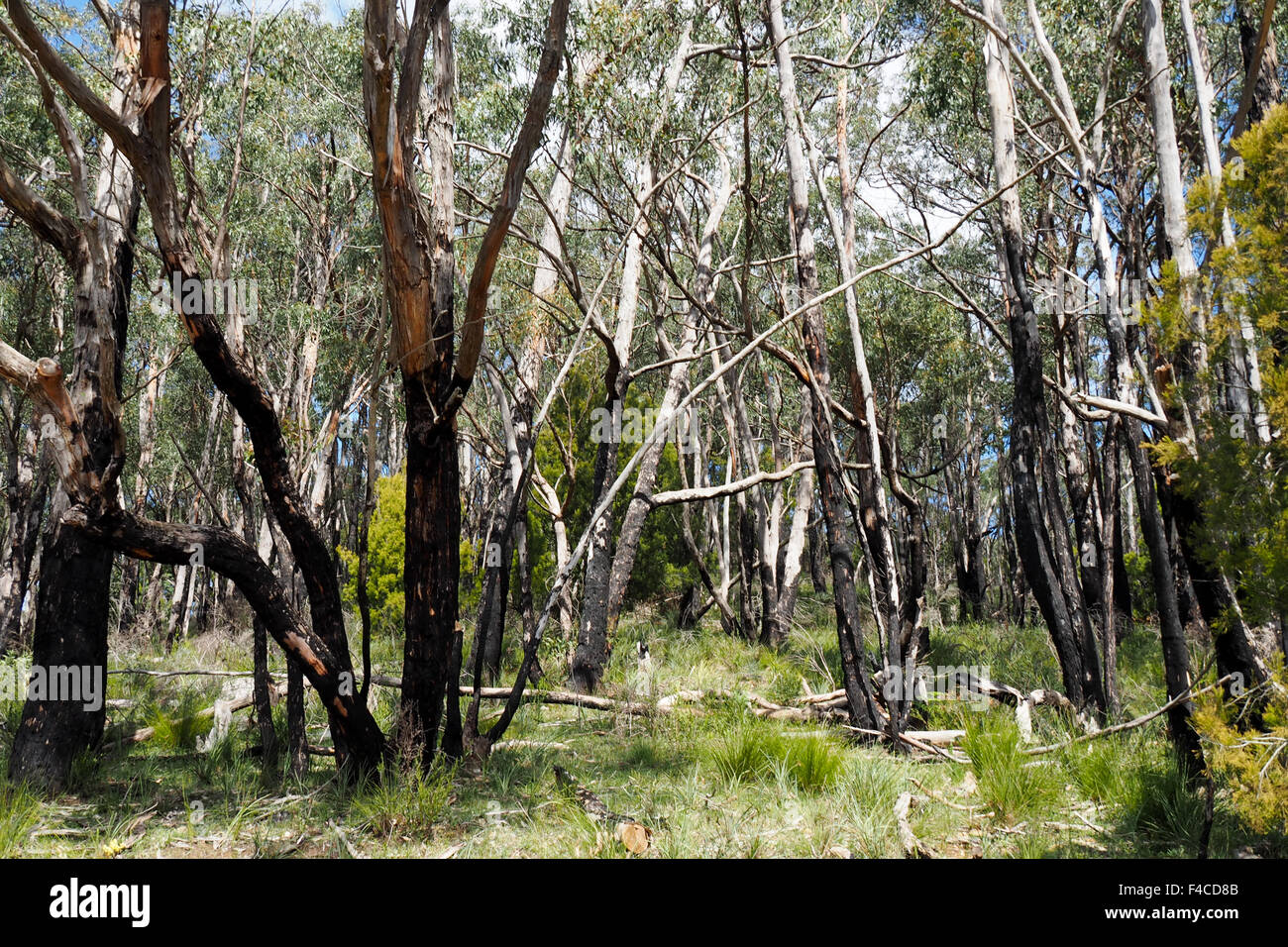 Eucalyptus trees in the Mount Lofty Botanical garden. - Stock Image