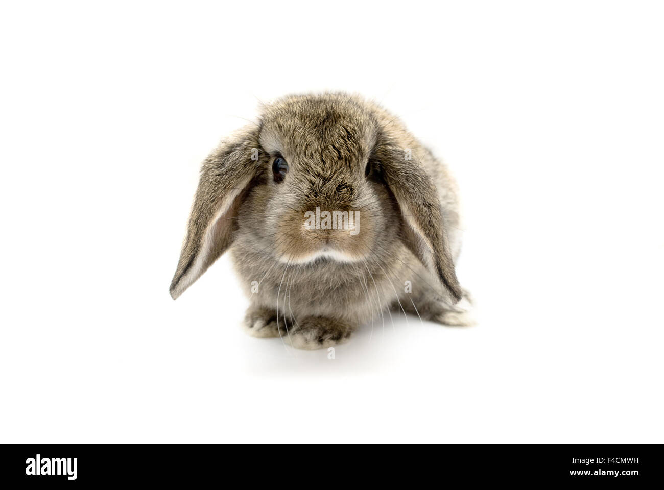 Adorable five week old baby lop eared rabbit. - Stock Image