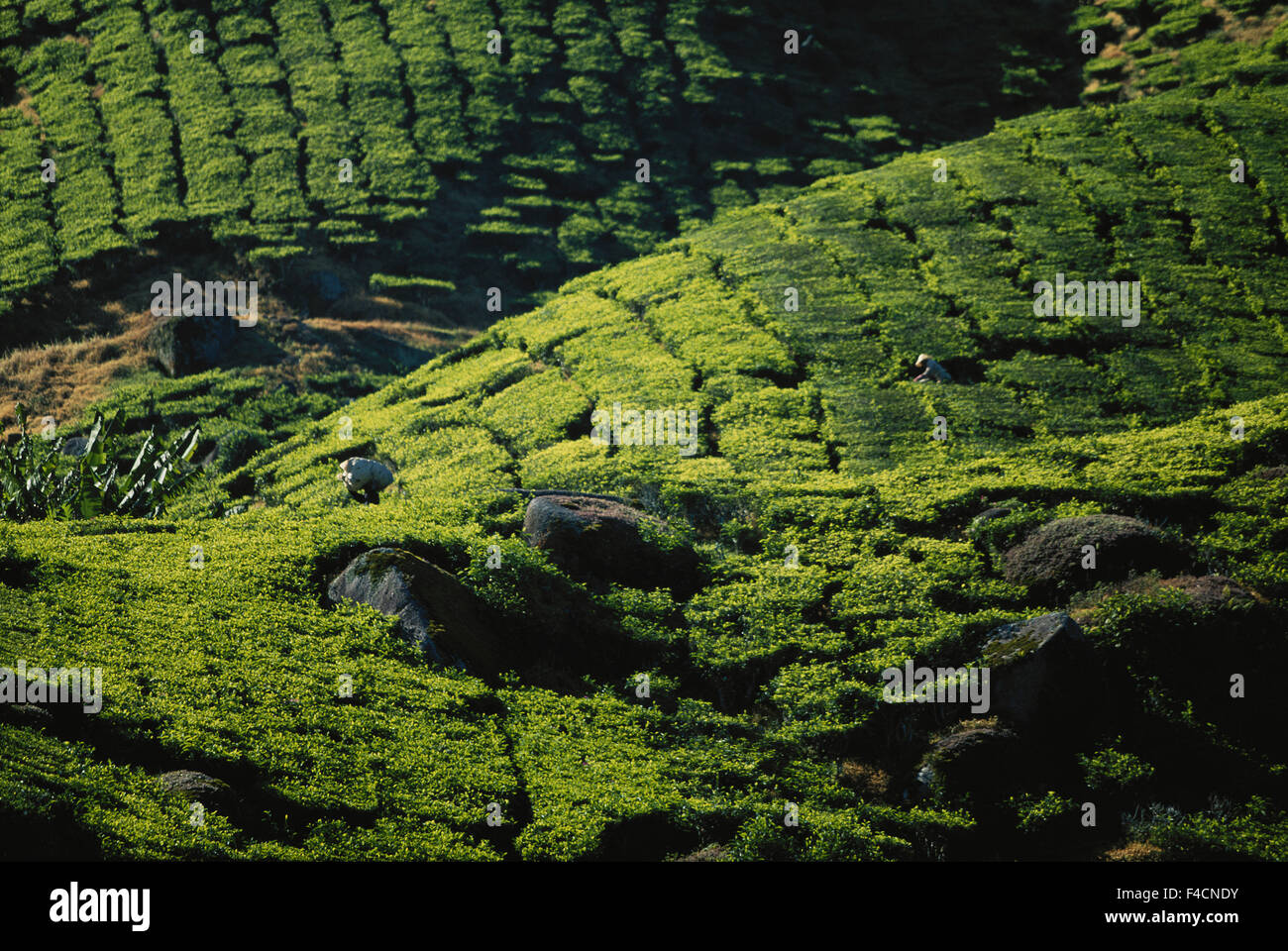 Malaysia, Cameron highlands, People working in tea fields. (Large format sizes available) - Stock Image