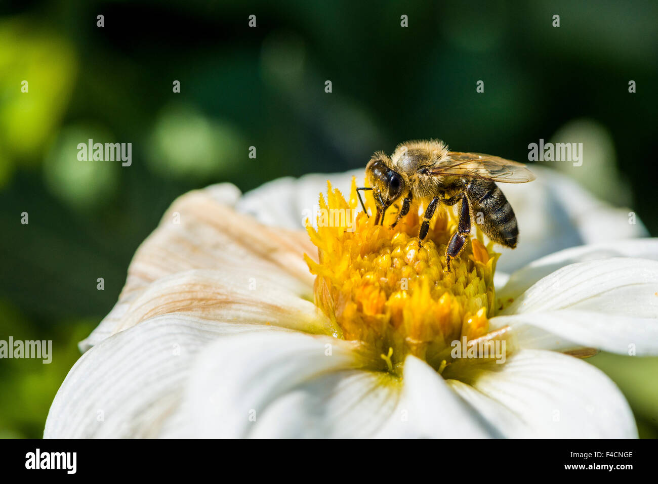 A Carniolan honey bee (Apis mellifera carnica) is collecting nectar from a Dahlia (Asteraceae) blossom - Stock Image
