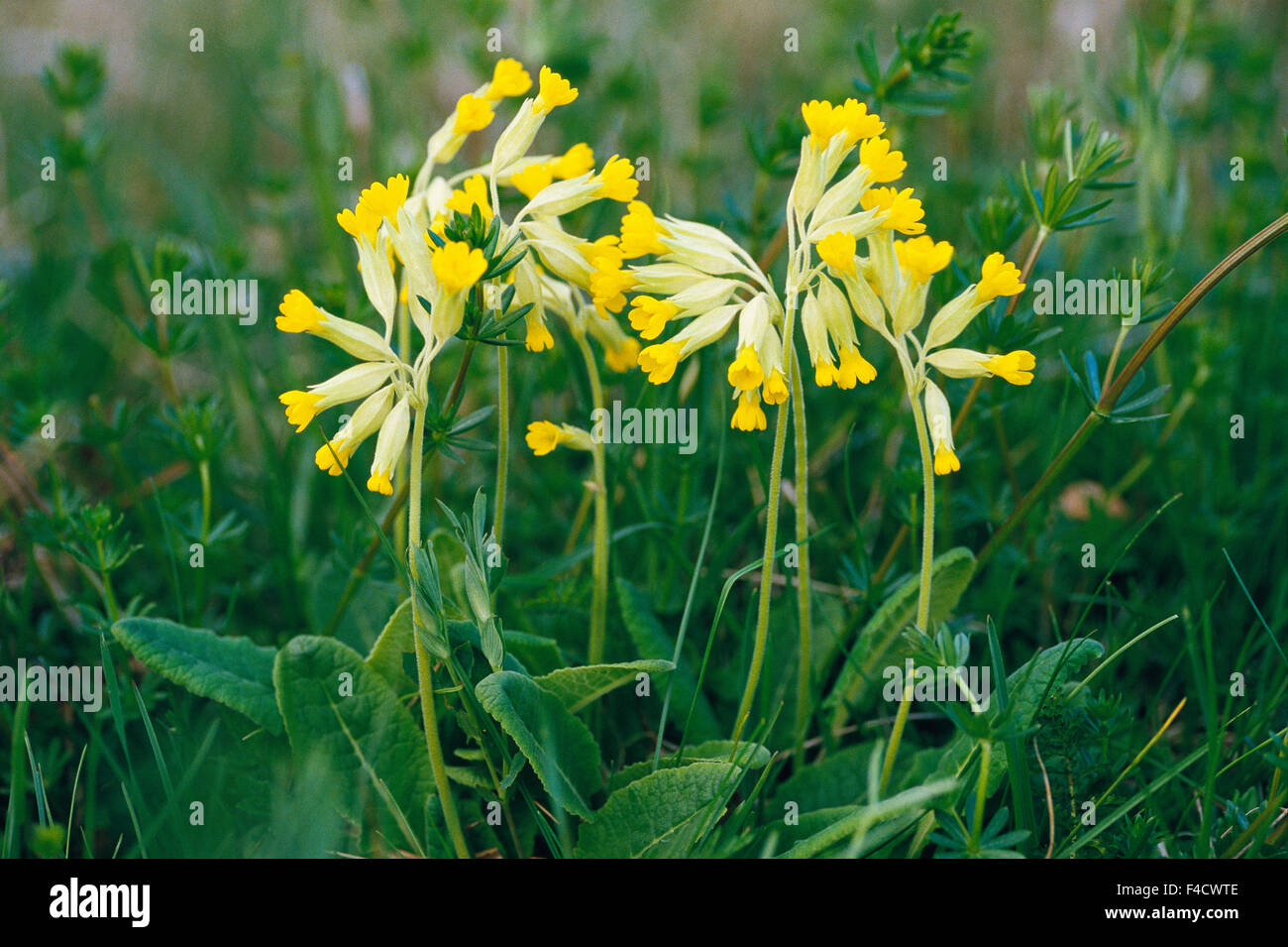 Yellow flowers midst plants, close-up - Stock Image