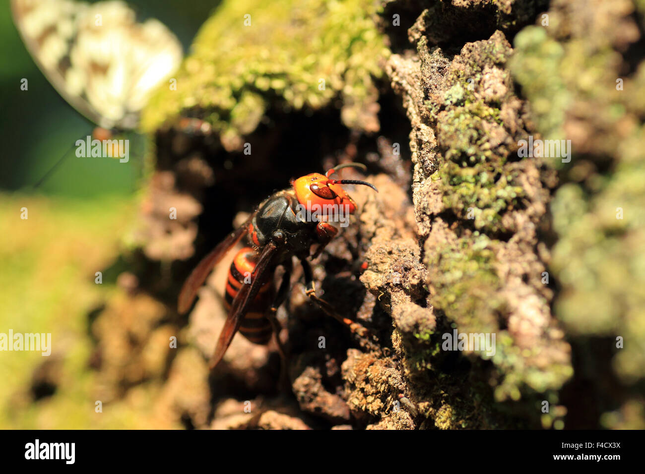 Japanese giant hornet (Vespa mandarinia) in Japan Stock Photo