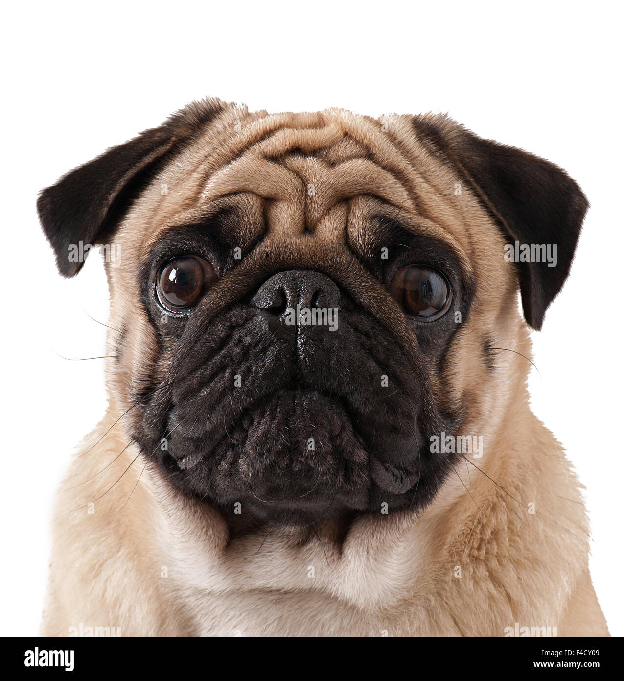 Pug dog isolated on a white background - Stock Image