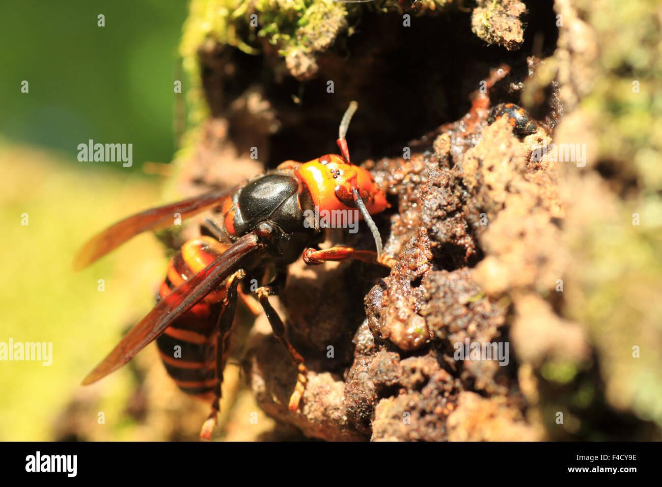 Japanese giant hornet (Vespa mandarinia) in Japan - Stock Image