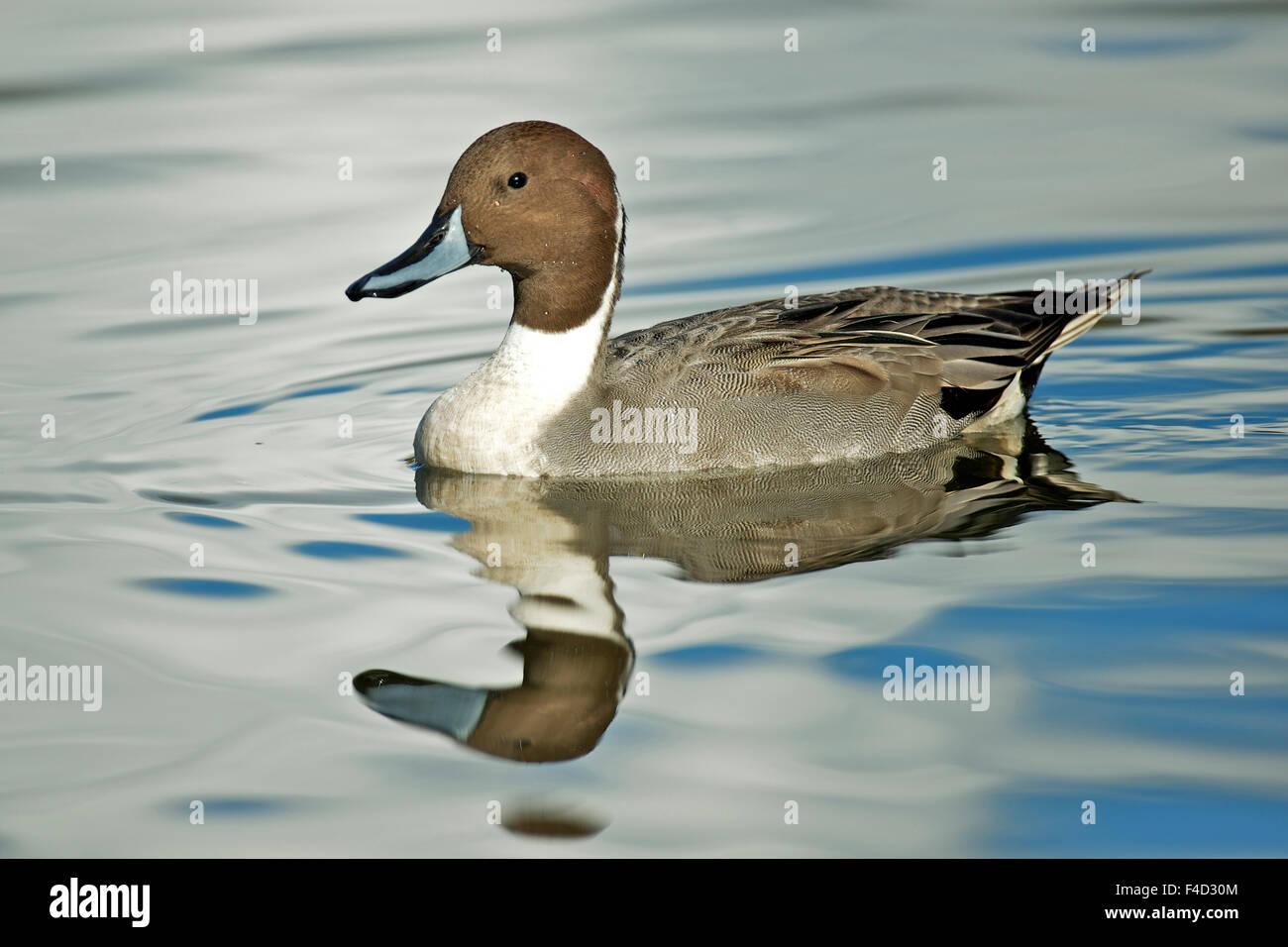 A Pintail duck (Anas acute) has a wide geographic distribution across northern latitudes. - Stock Image